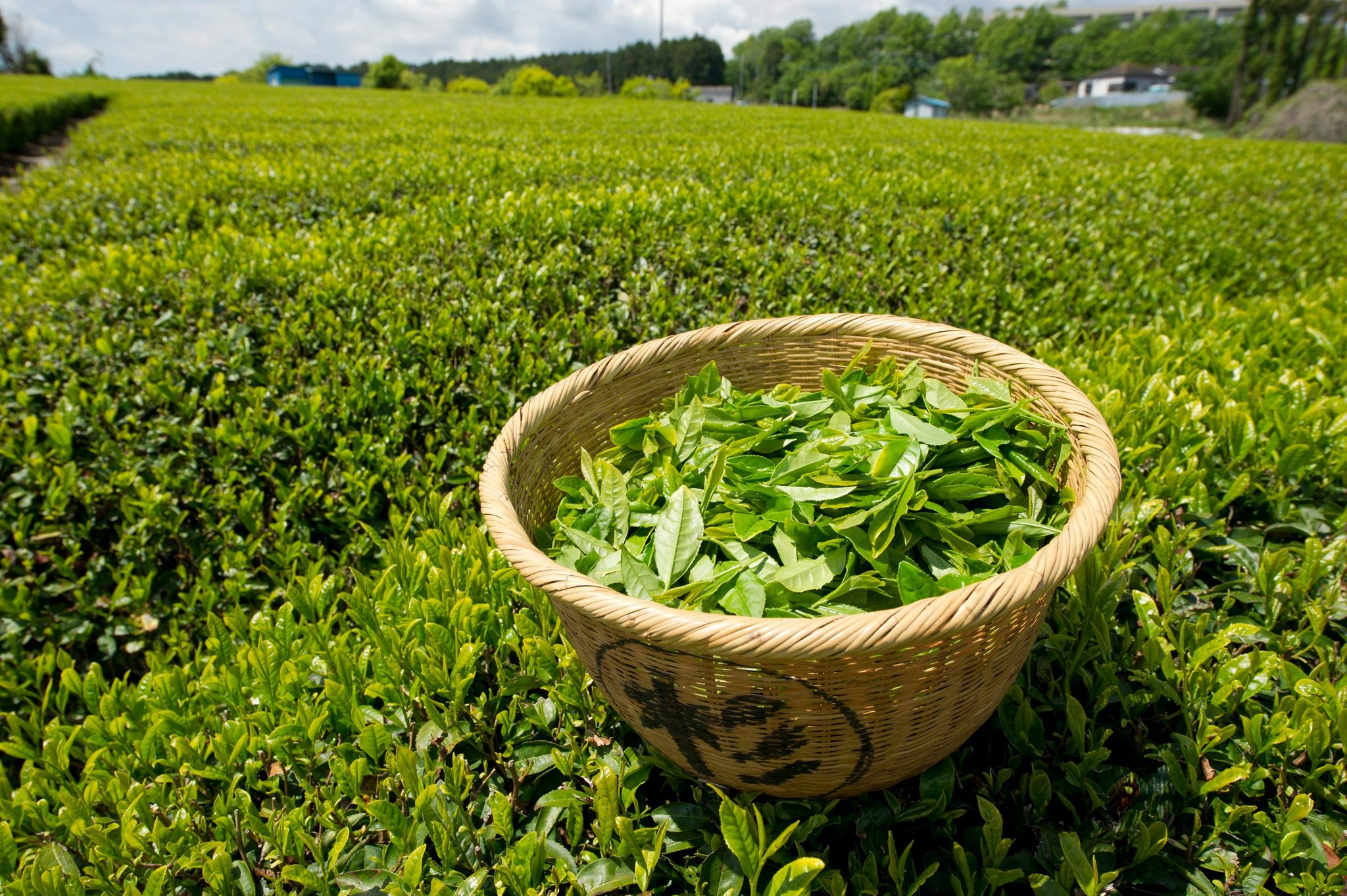green tea What is green tea it surprises many people new to tea to learn that green tea and black tea originate from the same exact plant species—camellia sinensis it's ultimately the variety of tea plant and how the tea leaves are processed that defines how green tea becomes green and black tea becomes black.