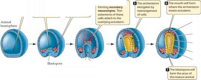 gastrulation the development of the embryo in animals