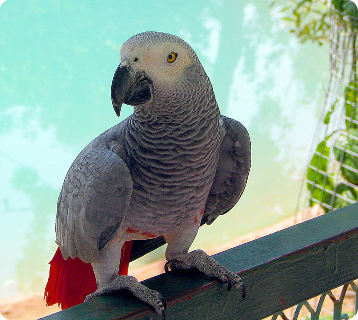 12 week old african grey parrot